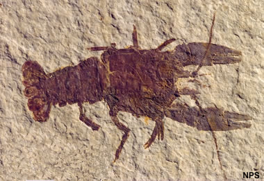 Green River fossil crayfish