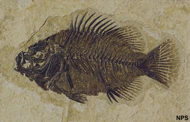 Green River fossil fish: Cockerellites liops