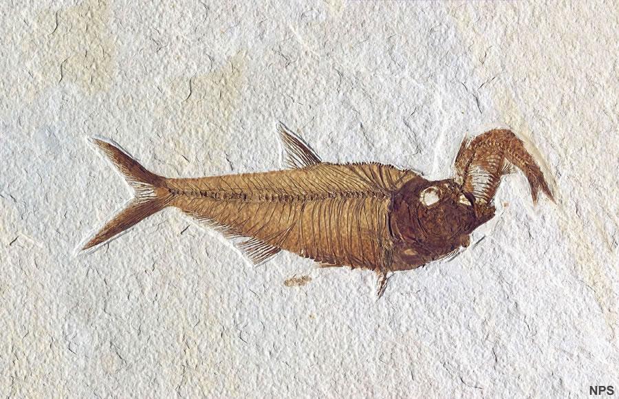 Fish Fossil Gürtelschnalle Fossile Fisch Fishing Angeln Angler Fischen Fischer