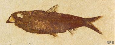Green River fossil fish: Knightia eocaena
