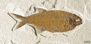 Green River fossil fish: Mooneye