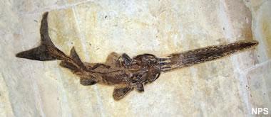 Green River fossil fish: Crossopholis