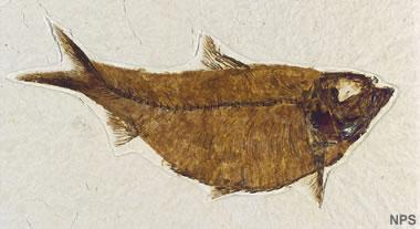 Green River fossil fish: Knightia alta