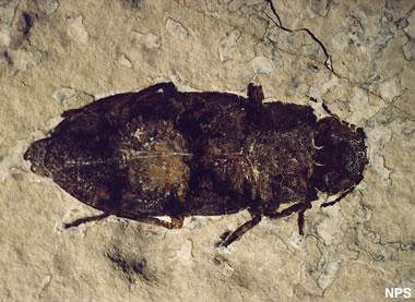 Green River fossil beetle: Buprestidae