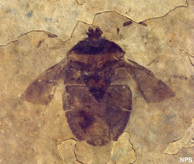Green River fossil insect: Hemiptera species