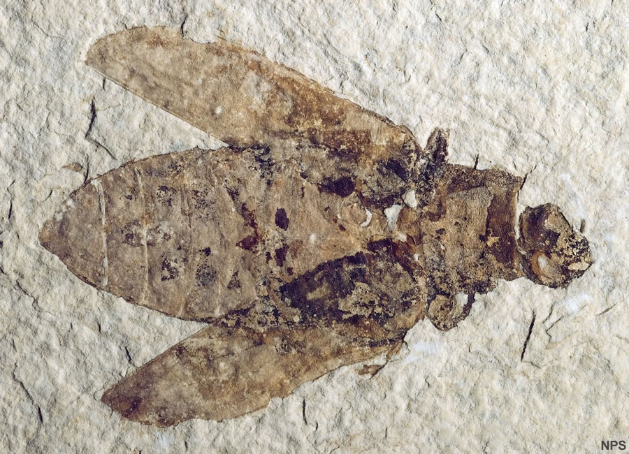 Green River Formation Fossil Insects: Dragonfly, Beetles