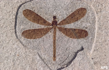 Green River fossil insect