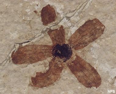 Green River fossil flower