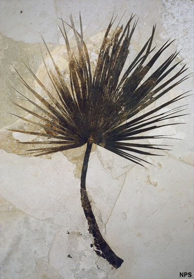 Green River fossil palm
