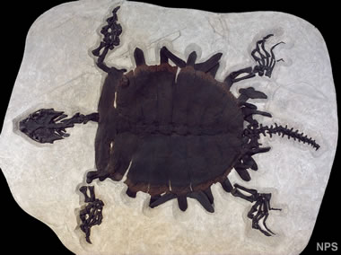 Green River fossil turtle