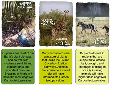 carbon isotopes and ecosystems