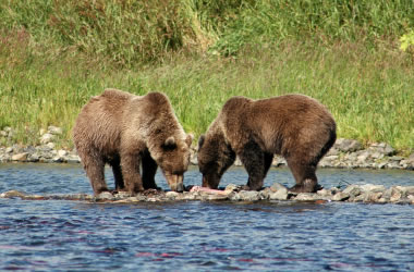 Bear Attacks How To Avoid Them And What To Do If Attacked